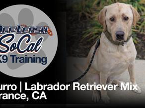 Churro | Labrador Retriever Mix | Torrance, CA