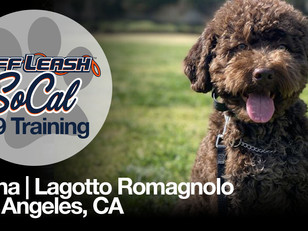 Bruna |  Lagotto Romagnolo | Los Angeles, CA