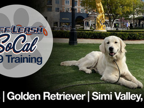 Otis   Golden Retriever   Simi Valley, CA