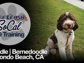 Noodle   Bernedoodle   Redondo Beach, CA