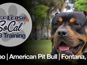 Debo | American Pit Bull | Fontana, Ca