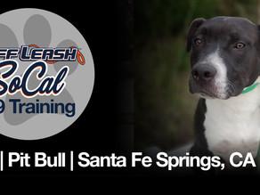 Mia | Pit Bull | Santa Fe Springs, CA