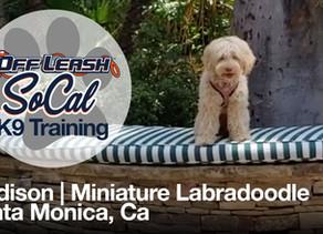 Madison | Miniature Labradoodle | Santa Monica, CA