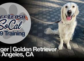 Jagger   Golden Retriever   Los Angeles, CA