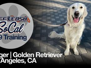 Jagger | Golden Retriever | Los Angeles, CA