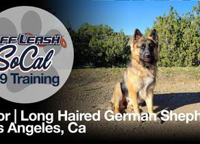 Thor | Long Haired German Shepherd | La Canada, CA