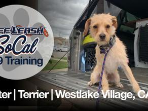 Baxter | Terrier Mix | Westlake Village, CA