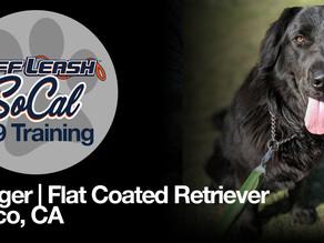 Ranger | Flat Coated Retriever | Norco, CA