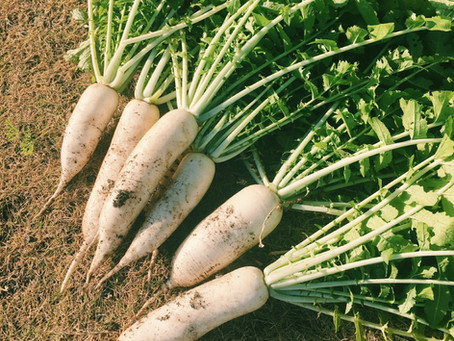 Big Roots: Daikon Radishes and Leaves