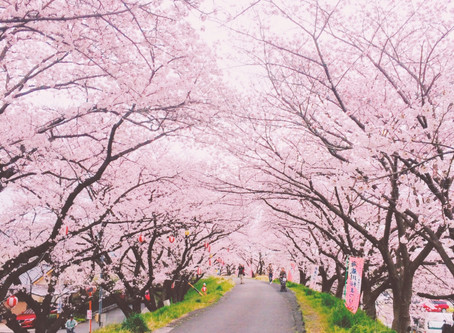 Hanami: Viewing the Cherry Blossoms