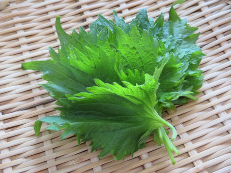 All About Shiso