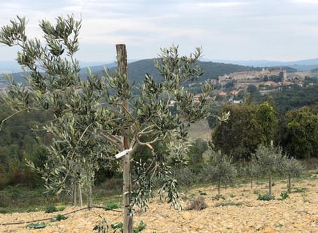 Fiebre de oliva en Toscana