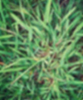 crab grass-other services .JPG