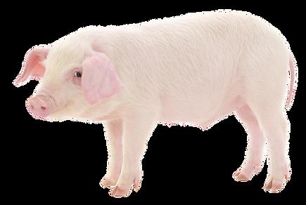 Pig. Oink.