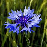 cornflower-989127_1920.jpg
