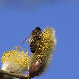 Salix.jpg