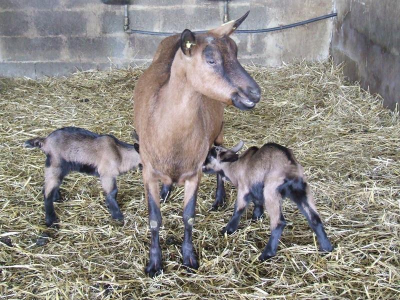 Chevreaux nouveaux-nés