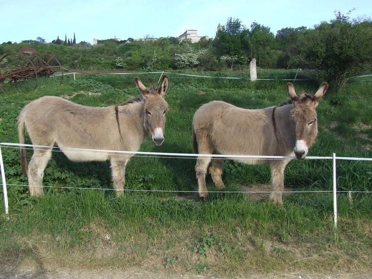 Les ânes Nanette et Emir