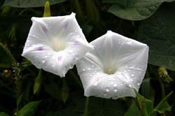 White Morning Glories
