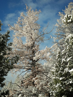 Snowy Pine1