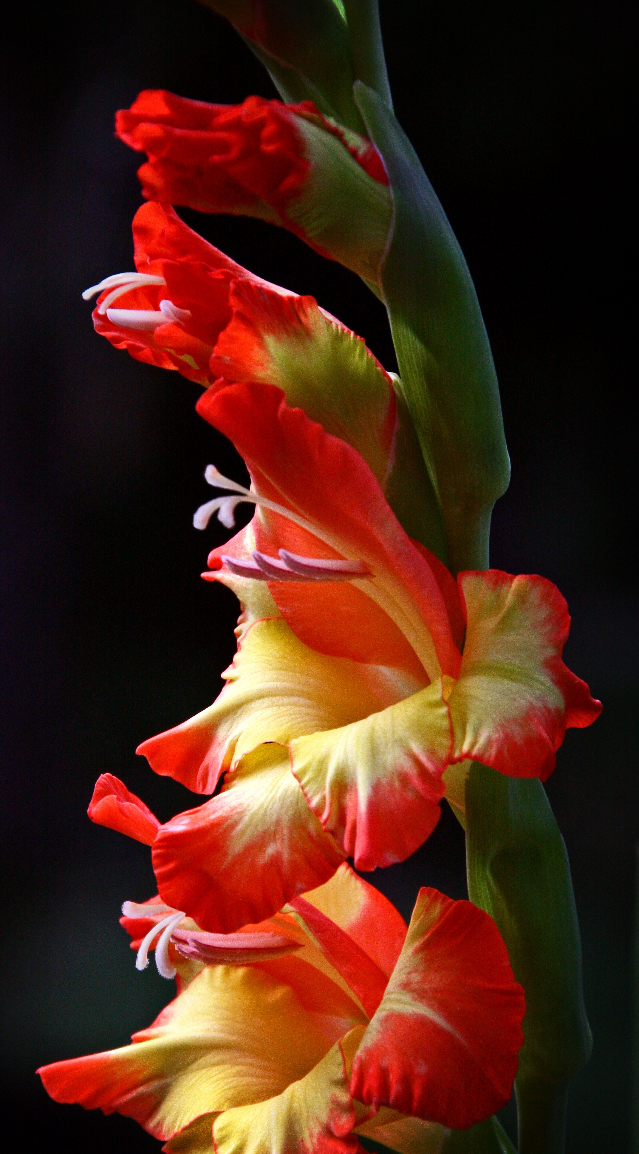 Red and Yellow Gladiola Vert Pano