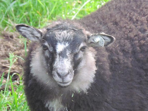 Meet Our Sheep: Lavender