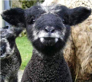 Black lamb with white facial coloration to make it look like he has Dracula fangs.
