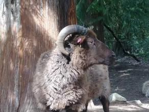 Meet Our Sheep: Cambridge