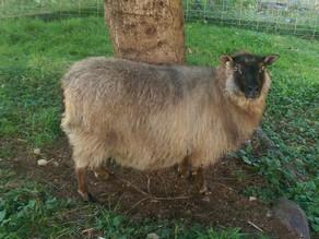 Meet Our Sheep: Madame