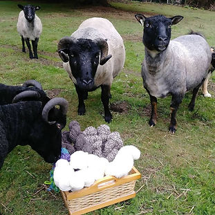 Several sheep standing in a pasture. Some are sniffing a basket of handspun yarn, and some are looking at the camera.
