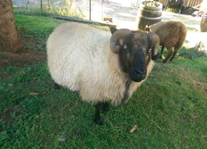 Meet Our Sheep: Pocket