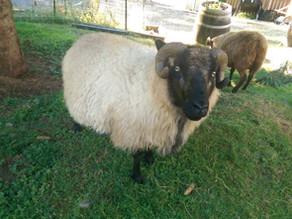 Meet Our Sheep: Pocket