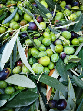 raccolta-manuale-olive-selvagiurata.png