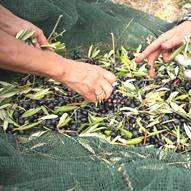 pulizia-delle-olive-selvagiurata.png