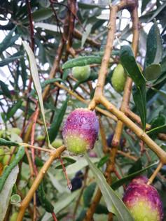invaiatura-olive-tenera-ascolana_SlevaGi