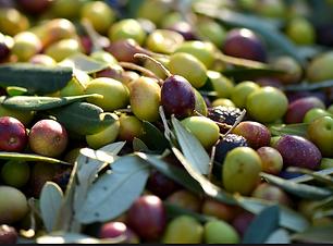 olive-per-molitura-blend-selvagurata.png