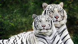 White Tiger 3_edited
