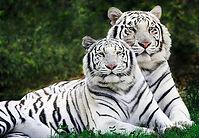 White Tiger 3.jpeg