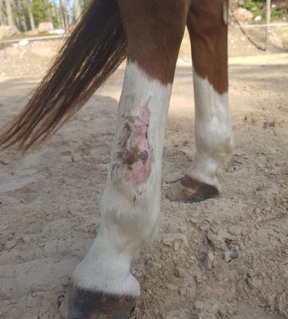 Study: BIOPTRON in the field of veterinary - wound healing of a dressage pony