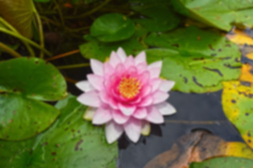 water-lily-3485793_1280.jpg
