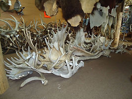Moose_Antlers_001_fs.jpg