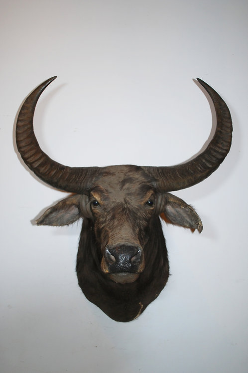 Very Large Water Buffalo Mount