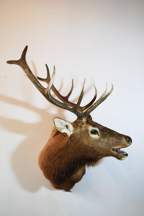 Bugling Elk Mount