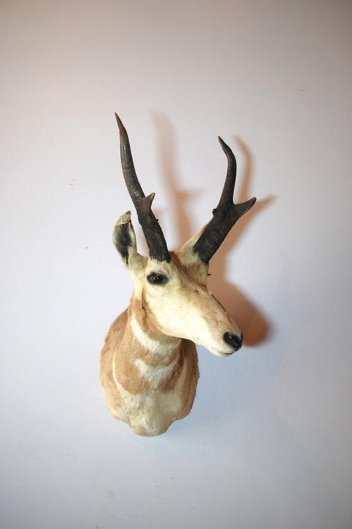 Pronghorn Antelope Mount