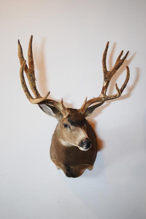 Large Mule Deer Mount