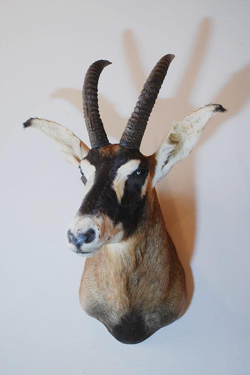 Roan Antelope Mount