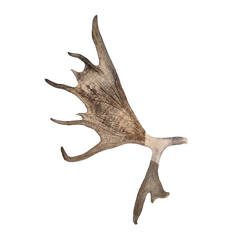 """Wings of an Eagle"" Carved Moose Antler"