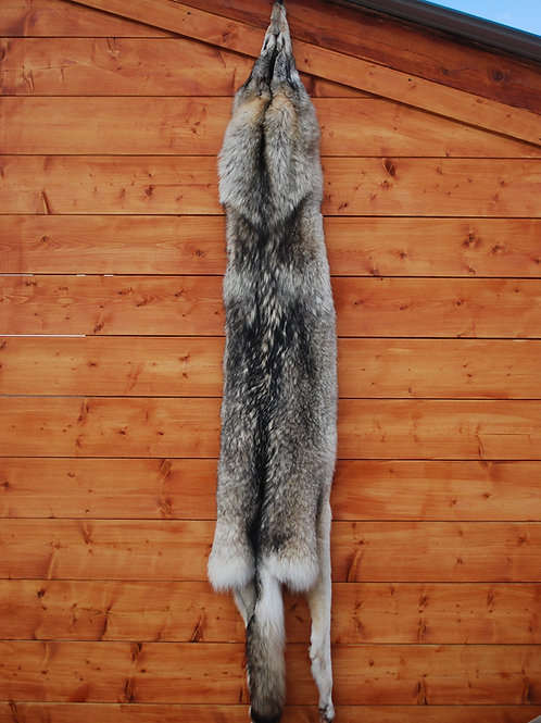 Very Large Canadian Grey Wolf Hide