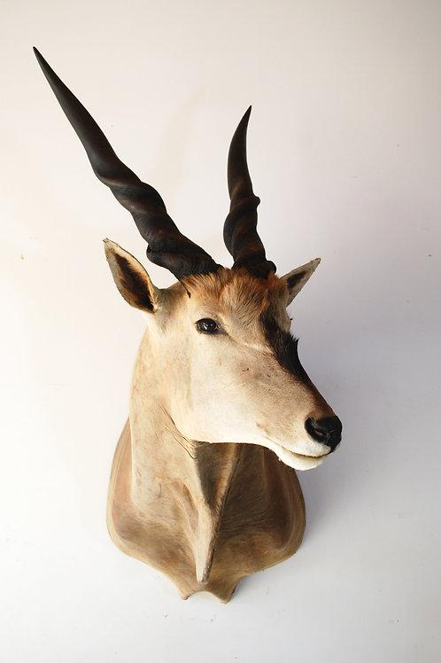 Eland Antelope Mount
