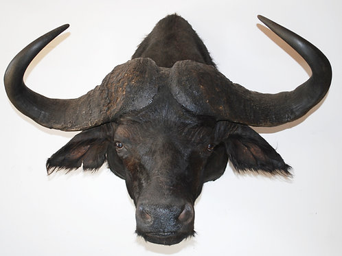 Cape Buffalo Mount